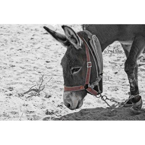 عزل_لوني مساء الخير  Bell Donkey pet animal animals حمار جرس سلسله تصويري كاميرا سوني الفا تصوير_عدستي bw hdr photographys sonyalpha السعودية saudiarabia desert colorsplash blackandwhite camera ksa صور panorama landscape