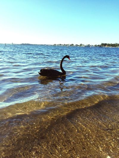 Perth Australia BlackSwan Beauty In Nature Animals In The Wild Bird Water Animal Themes In The Morning