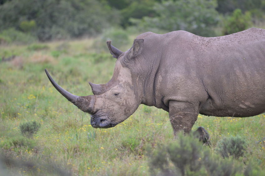 White rhinoceros in grasslands Animal Animals In The Wild Game Reserve Nature Outdoor Photography Poaching Rhinoceros South Africa First Eyeem Photo