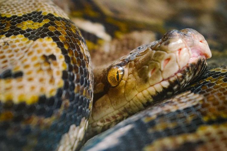 Python gaze