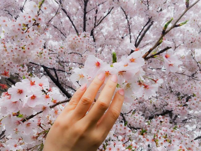 That moment I touch you. ❤️❤️❤️ Flower Human Finger Human Hand Lifestyles Personal Perspective Blossom Springtime Freshness Nature Leisure Activity Pink Color Fragility Day Close-up Beauty In Nature Sakura Spring Spring Flowers Cherry Blossoms Cherry Blossom Nailpolish Pink Japan Japan Scenery