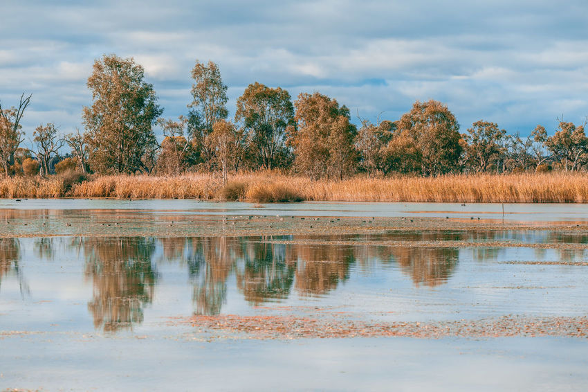 Gum trees and reed reflecting in Murray River in South Australia Australia Australian Australian Landscape Murray River Nature Riverland South Australia Arid Climate Beauty In Nature Cloud - Sky Growth Land Landscape Mallee Murray Nature Non-urban Scene Outdoors Plant River Scenics Scenics - Nature Tranquil Scene Tranquility Water