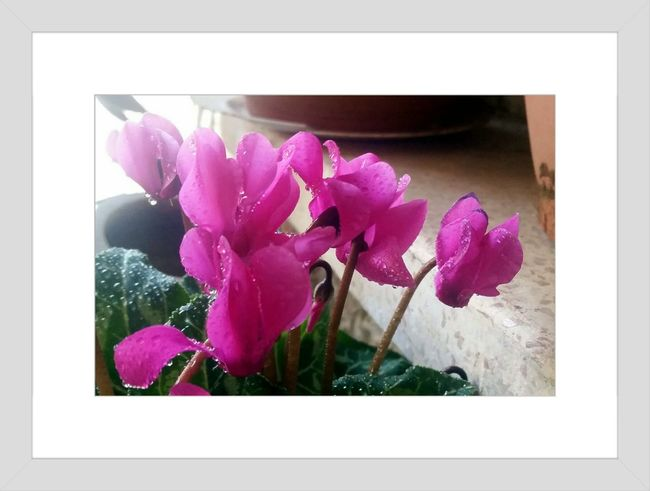 A Frame Within A FrameCyclamens Learn & Shoot: Single Light Source Flower The Beauty In Simplicity Natural Beauty Winterscapes Cyclamen RePicture Growth