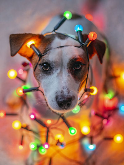 Portrait of dog with colorful lights