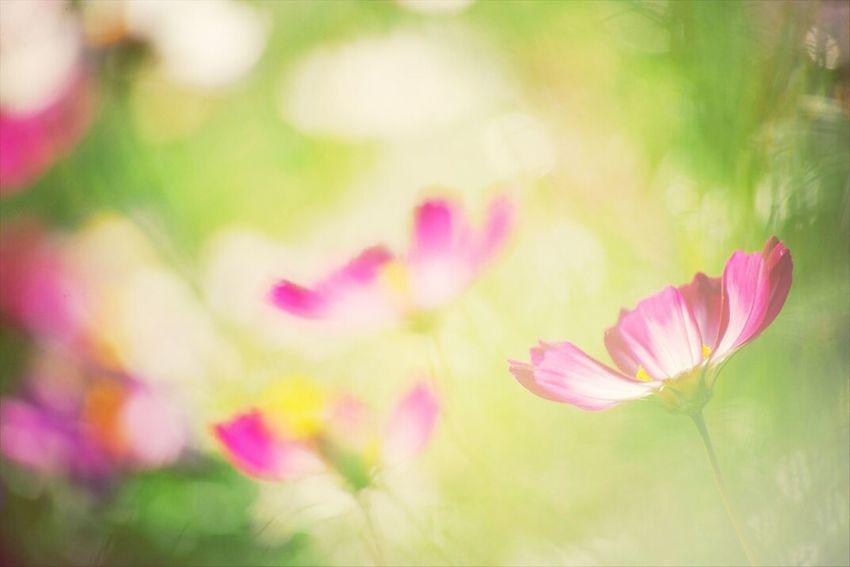 コスモス。 Flower Japan Flower