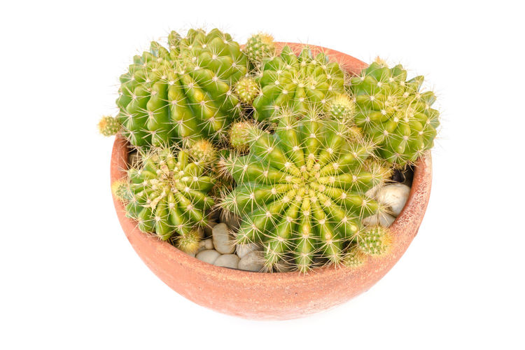 High angle view of cactus growing against white background