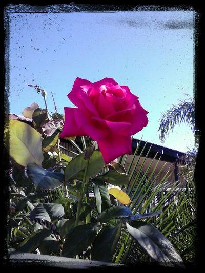 """Calliance Rose"""