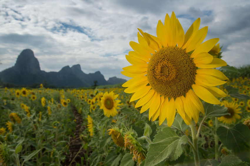 lopburi field sunflower Sunflower Agriculture Beauty In Nature Blooming Day Field Flower Flower Head Fragility Freshness Growth Landscape Lopburi Lopburi Thailand Nature No People Outdoors Petal Plant Rural Scene Sky Sunflower Sunflower Photography Sunflower🌻 Yellow
