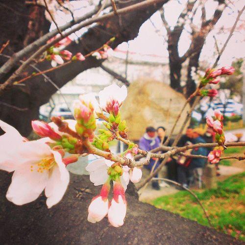 桜のもとに集まったおいちゃんたちが、アコーディオンに合わせて熱唱中 (。-∀-。)