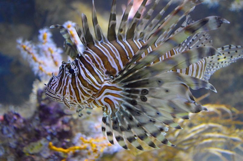 EyeEm Selects lionfish Underwater Sea Life Animal Themes One Animal Animals In The Wild UnderSea Animal Wildlife No People Close-up Sea Nature Water Fish Swimming Beauty In Nature Clown Fish Day Outdoors Lionfish Lionfish (Pterois Volitans) Monterey Bay Aquarium
