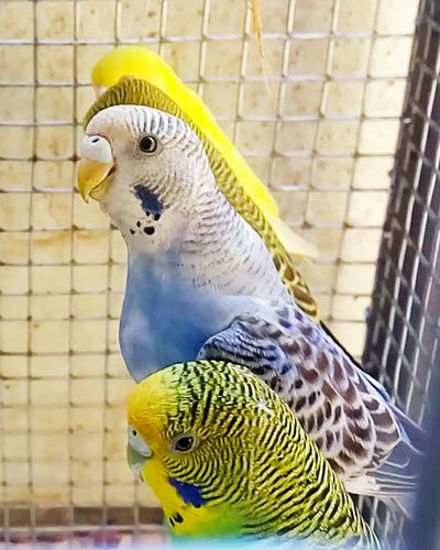 Cage Parrot Bird Birdcage Budgerigar Parakeet Prisoner Animals In Captivity Social Issues Pets Nature Yellow Togetherness Animal Wildlife Trapped Animal Markings Perching Feather  Beauty In Nature No People Skullinternational@ Jayraj