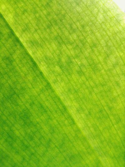 Green Color Backgrounds Full Frame Close-up No People Nature Day Details Of Nature Details Textures And Shapes Leaf Vein Orchid Leaf Phalaenopsis Orchid Leaf