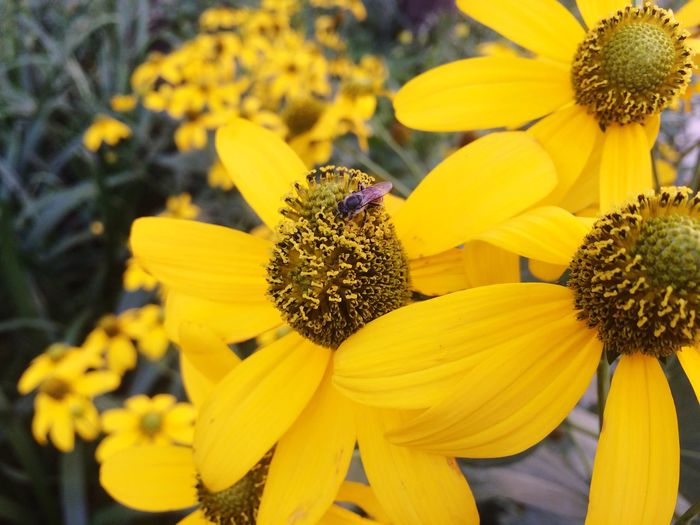 Close-up of bee pollinating yellow coneflower