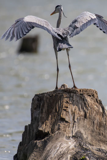 Bird perching on tree stump in lake