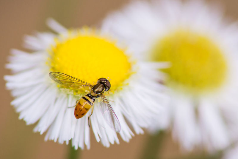 Animal Themes Beauty In Nature Bee Close-up Day Flower Flower Head Fly Focus On Foreground Fragility Freshness Growth Insect Nature No People Outdoors Petal Pollen Pollination Selective Focus Stamen Symbiotic Relationship Wildlife Yellow First Eyeem Photo