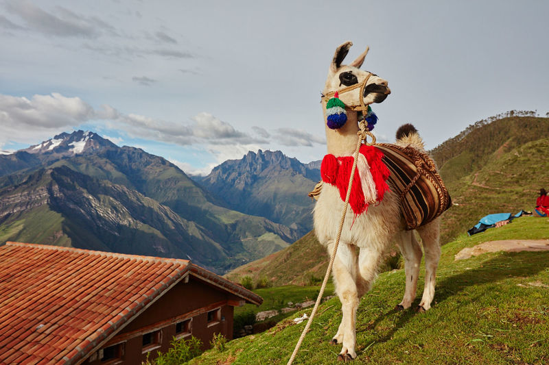 Llama standing against mountains and sky