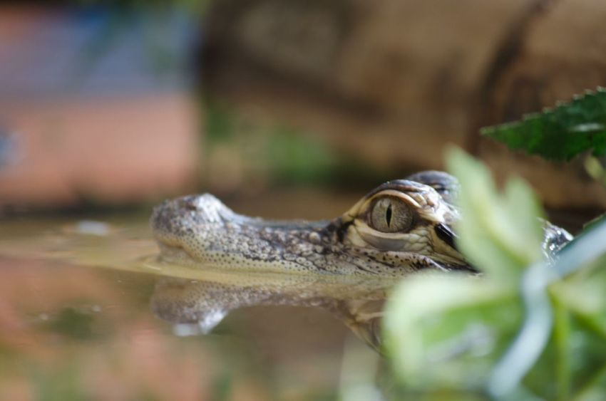 One Animal Animal Themes Reptile Wildlife Close-up Animal Head  Focus On Foreground Reflection Water Animal Eye Nature No People Kaiman