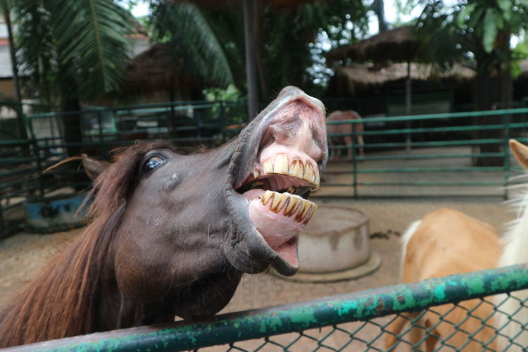 Horse Horses Horse Photography  Zoo Animals  Animal Nature Travel Thailand Thailand Cute Animals Cute Animal Protruding Agriculture Water Cattle Animal Mouth Animal Tongue Close-up Animal Teeth Teeth Zoo Animal Nose Mouth Cage