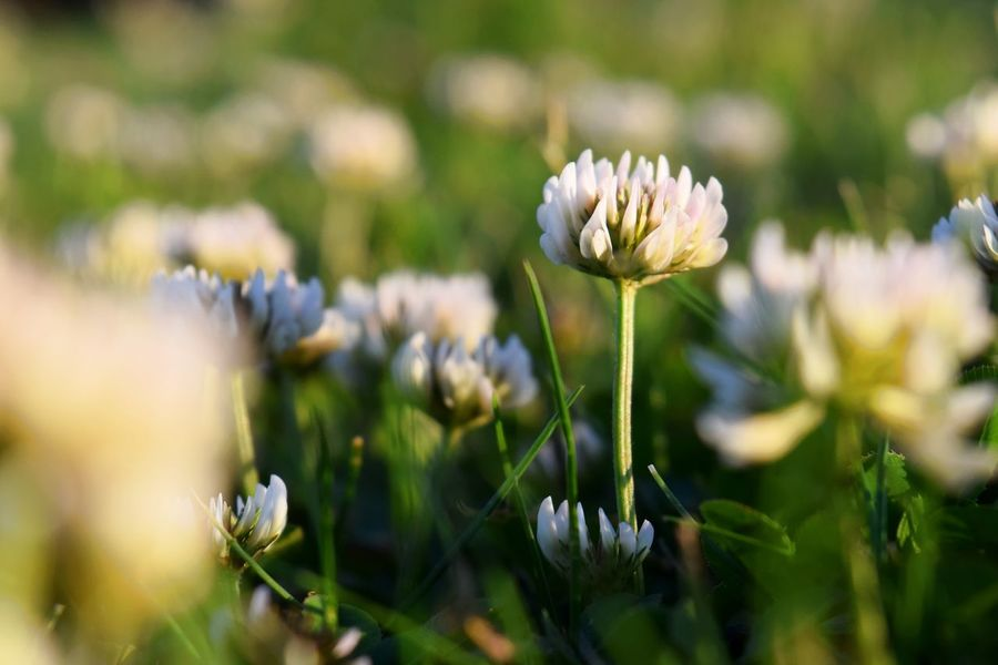 Sunset flowers Beauty In Nature Blooming Close-up Day Flower Flower Head Freshness Green Growth Light Macro Nature No People Outdoors Plant Summer Sunset White