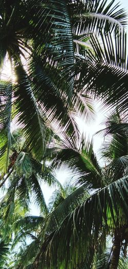 Coconut Palm Tree Coconut Trees Tree Water Palm Tree Close-up Green Color Sky Growing Greenery Palm Leaf Bamboo - Plant Fungus Toadstool Young Plant Vegetation Frond Palm Frond Tree Trunk Woods Blossoming