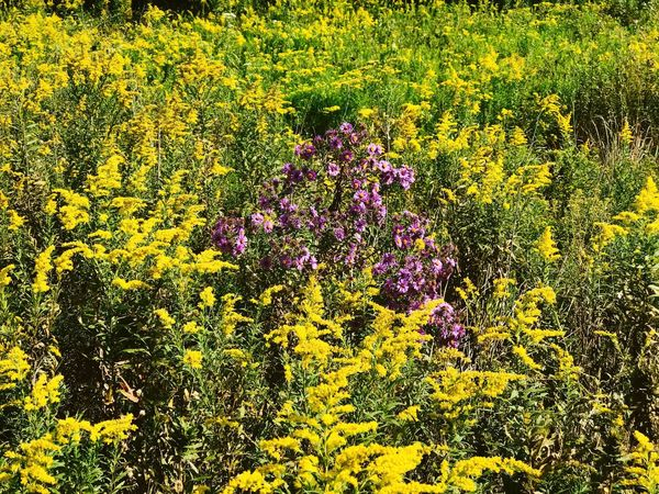 Paint The Town Yellow Field of goldenrod with purple aster. Flower Nature Field Blossom Beauty In Nature Yellow Vibrant Color Blooming Outdoors