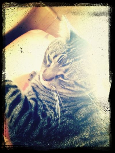 Cat at the sun... Cats Catlovers Animallovers Eyem Animal Lovers