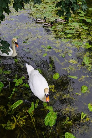 Swans Animal Animal Themes Water Animal Wildlife Lake Animals In The Wild Vertebrate High Angle View Bird One Animal Day Nature No People Floating On Water Floating Waterfront Reflection Swimming Outdoors Marine