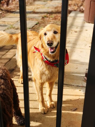 Beautiful Golden Retriever Dog Family Pet Dog Fetching News Paper Golden Color Canine Friends Dog Lover Friendly Dog Happy Dog Dog Bandana RED BANDANA Canine Beautiful Dog Big Dog Golden Retriever Dog One Animal Animal Themes Pets Day Domestic Animals Outdoors Portrait Close-up Mammal No People