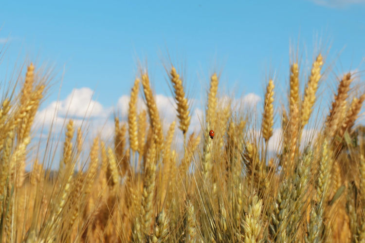 Agriculture Beauty In Nature Cereal Plant Day Ear Of Wheat Field Growth Ladybug Nature Plant Rural Scene Sky Tranquility Wheat Wheat