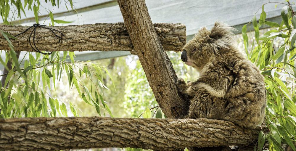 Low angle view of koala bear on tree in zoo