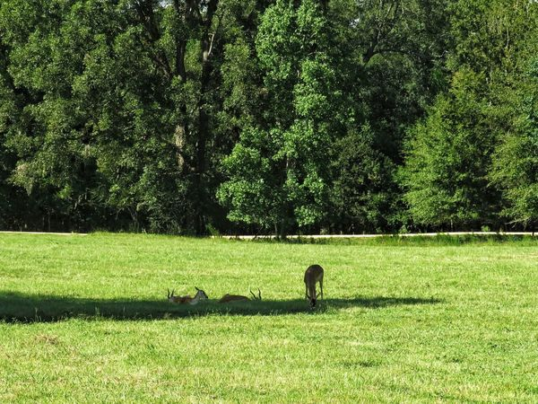 At rest Animal Themes Animal Wildlife Captivity Tree Togetherness Standing Shadow Field Green Color Long Shadow - Shadow Grassland Lush Foliage Sunrays Focus On Shadow Countryside