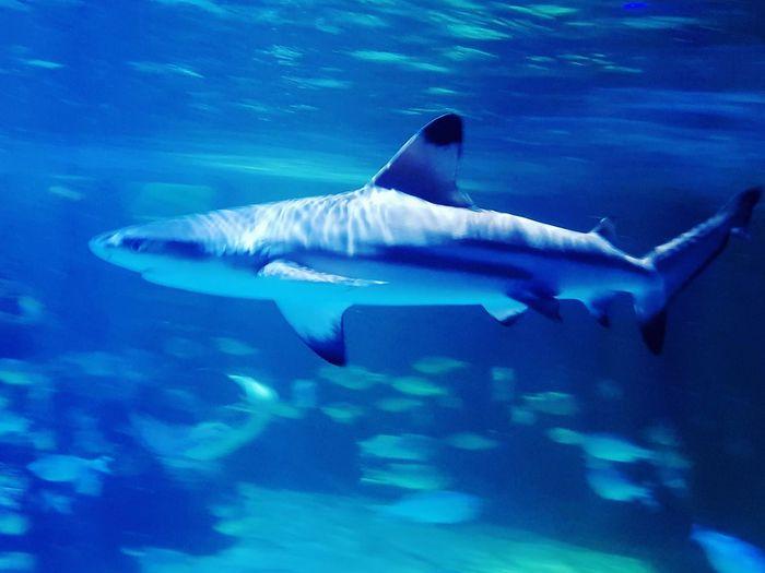 black tip shark EyeEm Best Shots Eyeemphotography Eye4photography  UnderSea Sea Life Swimming Underwater Sea Whale Shark Shark Water Blue Animal Fin Aquatic Mammal Tail Fin
