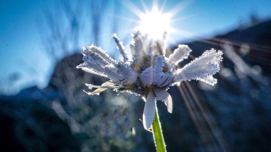 Blue Plant Cold