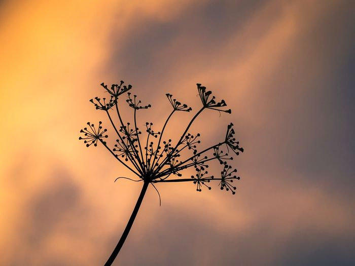 Dill Plant Sunset Sky Beauty In Nature Nature Growth No People Tranquility Low Angle View Orange Color Silhouette Outdoors