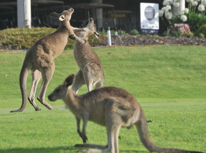 Känguru auf Golfplatz Animals In The Wild Australia Down Under Golf Course Green Kaengurus Grasen Auf Dem Gruen Des Pambula Golfclubs Känguru  Animal Animal Themes Day Field Golf Club Golf Course Photography Grass Känguruh Land Mammal Nature Plant Sports Vertebrate