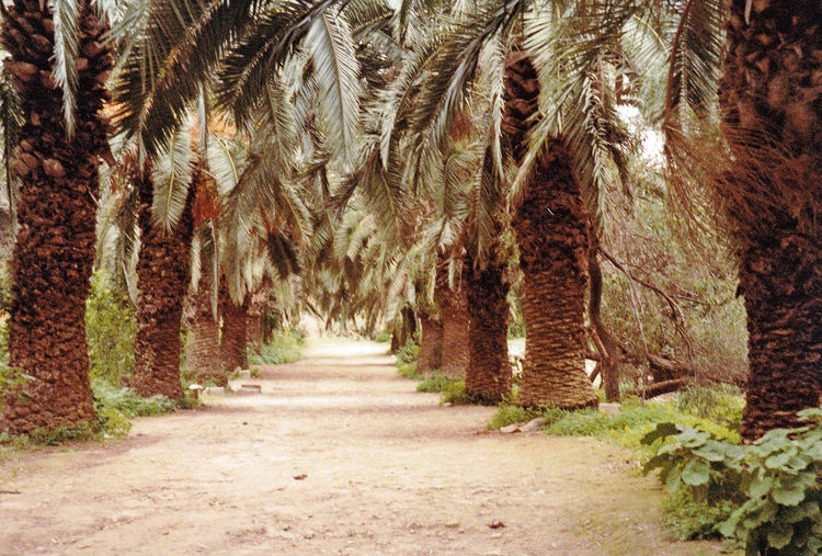 Avenue of palm trees near the Roman remains of Carthage - Tunis, Tunisia Nature Tree Day Outdoors Forest Carthage No People Palm Trees ❤❤ Tunisia❤ Avenue Of Palms A Taste Of Tunisia Perspectives On Nature