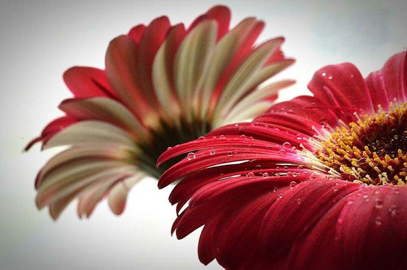 Gerbera Gerbera Daisy Gerberas Gerbera Daisies Red Gerbera Red Daisies Red Flowers Flowers Flower Photography Flower Porn Plants And Flowers Water Droplets Rain Drops Beauty In Nature Nature Photography Nature EyeEm Nature Lover Macro Macro Flowers Macro Photography Macro Daisy Macro Beauty Macro Nature Nikon D3200