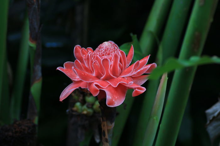 Torch Ginger Pink Etlingera Elatior Torch Flower Beauty In Nature Pink Color Flower Head Close-up No People Beauty Freshness Ginger Flower Plant