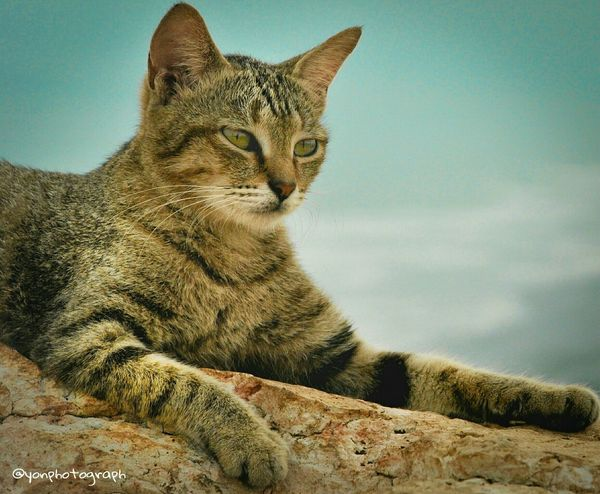 Colour Of Life stay focused, don't be confused Hanging Out Check This Out Hello World Relaxing Mountain Summer Time  Wildlife Photography Animal Photography Wild Animal Animal Portrait Mountain Hiking Tiger Cat Bestshots Bestphoto Animals In The Wild