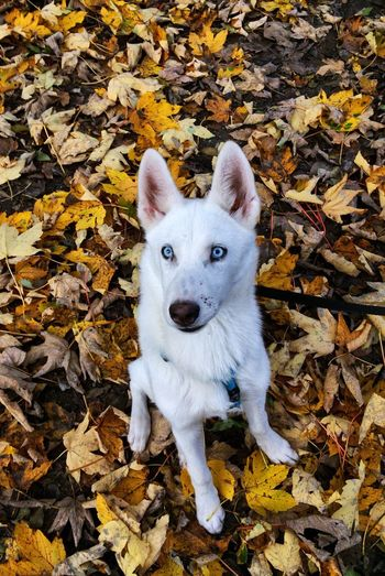 Leaf Change Looking At Camera Autumn Portrait High Angle View Pets Domestic Animals Leaves Animal Themes Nature Mammal Dog Outdoors Standing Front View No People One Animal Close-up Day