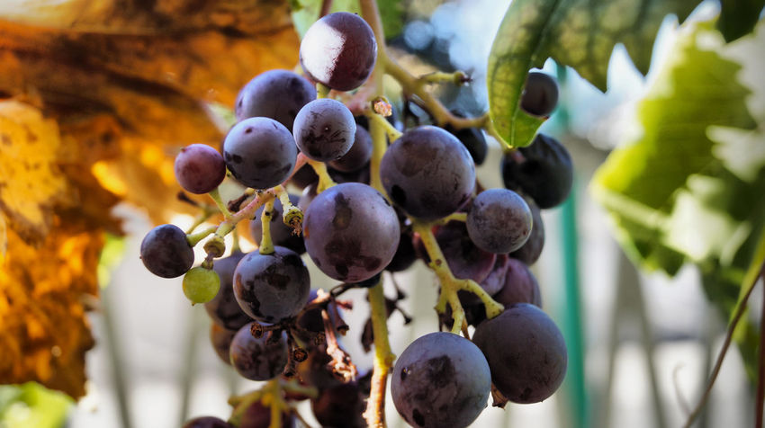 Beauty In Nature Close-up Food Freshness Fruit Fruit Power Grape Healthy Eating Nature