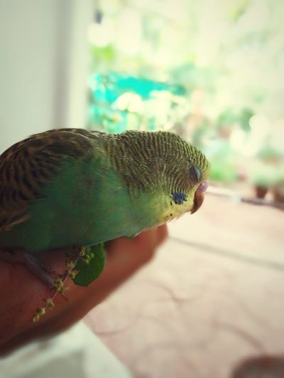 The relaxing moment.. Beautiful Birds Cute Pets Cute Bird Budgielove Budgies Green Budgie Green Bird Green Baby Bird Love Birds Sleeping Bird Comfortable Close-up Exotic Pets