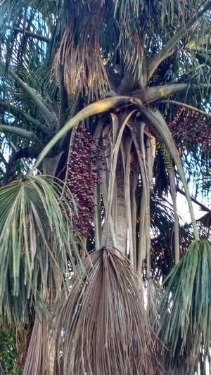 Fruit of the palm tree: Buriti. EyeEmNewHere Fruit Photography Palm Tree Amazon