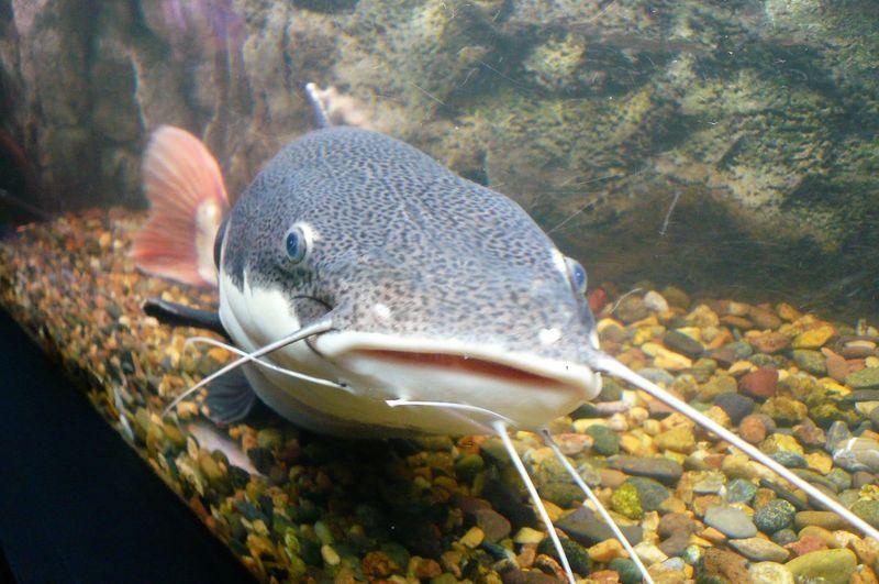 Looking At Camera Moustache Sheatfish UnderSea Aquarium Life Catfish Fish Sideburns Underwater