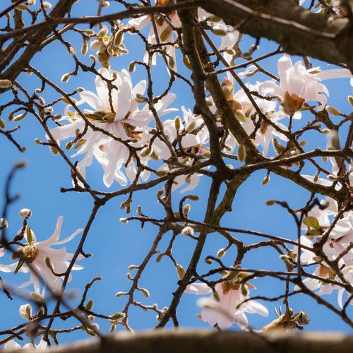 Almond Tree Almond Tree Blossom Beauty In Nature Blossom Branch Close-up Day Flower Flower Head Flowering Plant Fragility Freshness Growth Low Angle View Nature No People Outdoors Petal Plant Sky Springtime Tree Twig Vulnerability  White Color