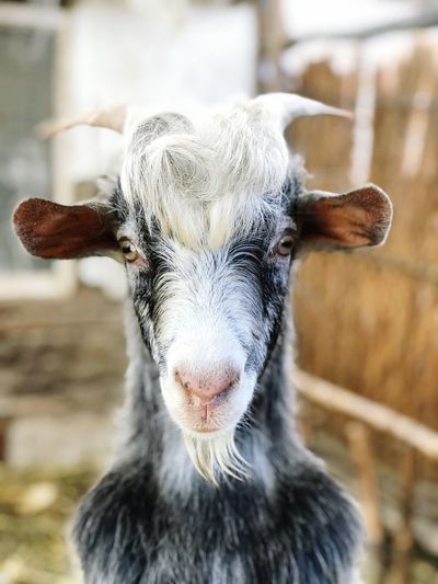 My dads goat 🐐 Goat EyeEm Selects Mammal One Animal Portrait Focus On Foreground Looking At Camera Close-up Domestic Animals Livestock Vertebrate Animal Wildlife Domestic No People Pets Animal Body Part Horned Herbivorous Animal Nose Day