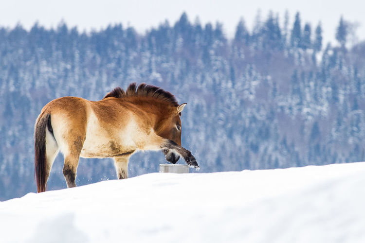 Winter is comming Animal Themes Beauty In Nature Beauty In Nature Cold Temperature Domestic Animals Horse Mammal Mountain Nature No People One Animal Outdoors Scenics Snow Standing Wildhorse Winter