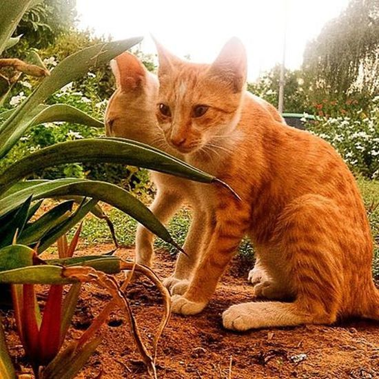 😺😼 Kitty Streetcat Instacats Love Cute Kitten Streetlife Stray Baby Meow Abudhabi UAE Albateen Cat Feline Instacats Nature Savethekitty