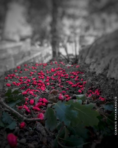 #splash Greece Greece Colorsplash_theworld Loves_colorsplash Colorsplash_of_our_world #Splash #colorsplash Like4like #edited #EyemEdit Bw Bnw_friday_eyeemchallenge Bnw_collection Bnw Bnw_captures Flower Head Flower Petal Zinnia  Summer Blossom Close-up
