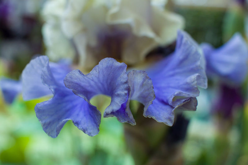 Flower Flowering Plant Plant Freshness Beauty In Nature Close-up Vulnerability  Selective Focus No People Blue Iris - Plant